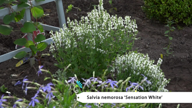 Salvia nemorosa 'Sensation White'