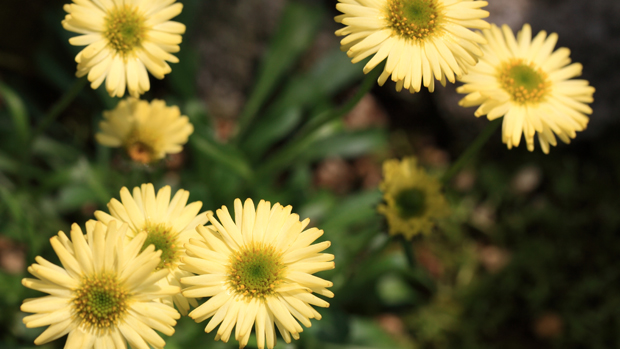 Erigeron Canary Bird
